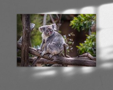 Koala sitzt auf einem Baum mit unscharfem Hintergrund Nahaufnahme Bild von Mohamed Abdelrazek
