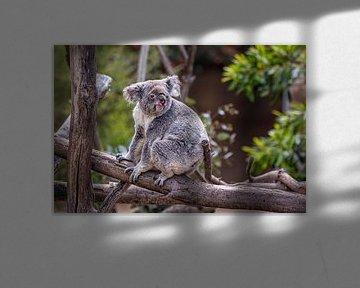 Koala zittend op een boom met wazige achtergrond close up beeld