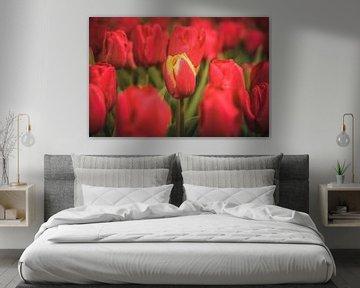 Tulipes néerlandaises au printemps