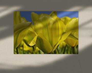 Gele tulpen in de Bollenstreek/Nederland