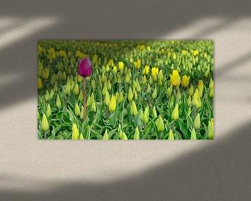 Rode tulp in een geel tulpenveld