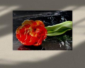 Doppelte Tulpe von Robin Mulders