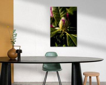 voorjaarsbloeier,  rhododendron in de avondzon | botanische fine art van Karijn | Fine art Natuur en Reis Fotografie