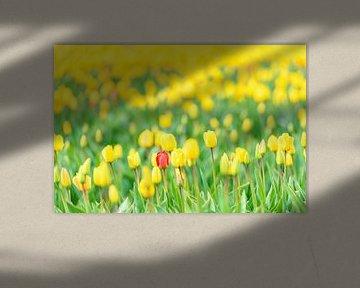Rode tulp in een veld van geel van Sjoerd van der Wal