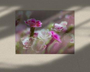 Blumen Dianthus Glückliche Küsse von Marieke de Boer