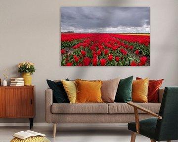 Champ de tulipes rouges aux Pays-Bas sur Nick Janssens