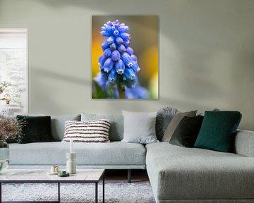 Prachtige close up van een blauwe druif. van GiPanini