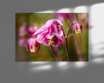 Roze Akelei van Rob Boon
