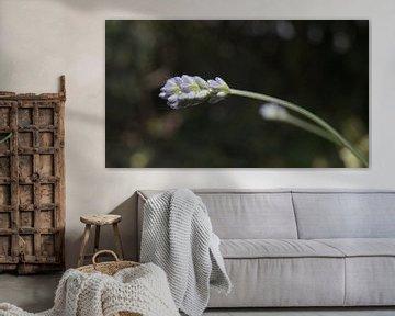 Lila Lavendel verbeugt sich vor der Sonne von Customvince | Vincent Arnoldussen