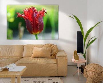 Rote Tulpe in Blüte mit schönen Fransen von Robin Verhoef