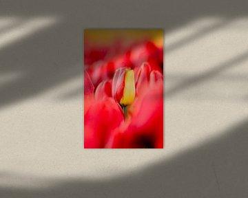 Spezielle rot-gelbe Tulpe | Rote Tulpe mit gelbem Blatt von Maartje Hensen