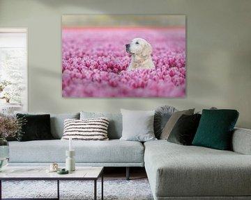 Golden Retriever zwischen den rosa Tulpen