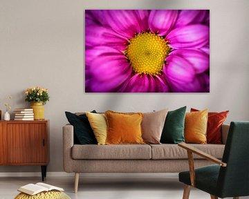 Schoonheid macro close up kleurrijk bloeiende chrysant in paars en geel van Dieter Walther