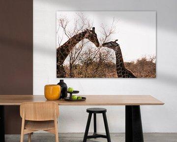 Giraffen bei Sonnenuntergang   Kruger National Park, Südafrika von Suzanne Spijkers