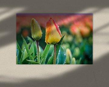 Regenachtig weer boven een bloembollenveld van eric van der eijk