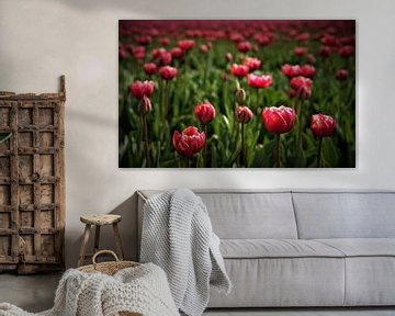 rosa Tulpen von peter meier