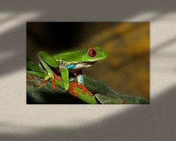 Roodoogboomkikker van Antwan Janssen
