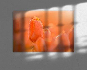 Tulpen in frühmorgendliches Licht getaucht von Harmen Mol
