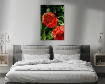 leuchtende Tulpe von Thomas Heitz