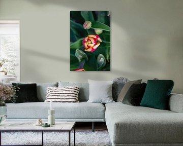 Farbige Tulpe von oben von Bianca Kramer