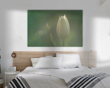 Weiße Tulpe im weichen Morgenlicht von Harmen Mol