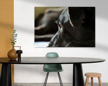 Spaanse Mastin-hond, goede lobbes van Ans van Heck