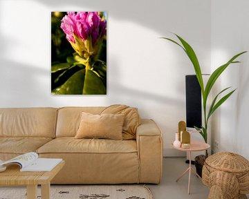 Rhododendron bei Sonnenuntergang | fine art nature photo von Karijn | Fine art Natuur en Reis Fotografie