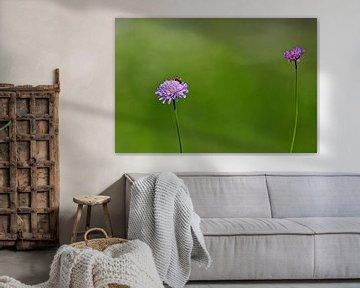 paarse korenbloem von Antwan Janssen