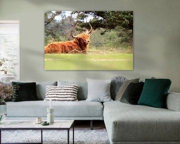 Schotse hooglander liggend in het gras van Bobsphotography