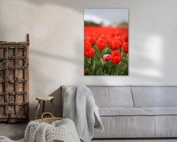 Tulpen aus der Zwiebelregion von Rasit's Photo's