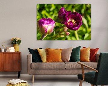 Lila Tulpen im Garten von Peter Baier