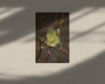 Salix, Katje. von John Kerkhofs