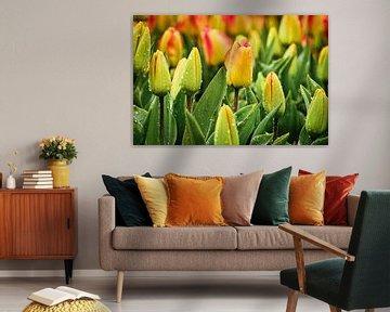 Kleurrijke tulpen onder de regendruppels van eric van der eijk
