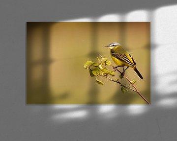 Gelbe Bachstelze rastend in niederländischem Polder von De_Taal_Fotograaf