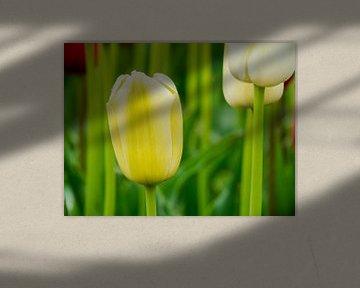 Gele tulp van Martijn Tilroe