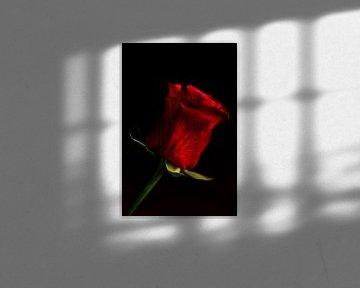 rote Rose von Saskia Schotanus