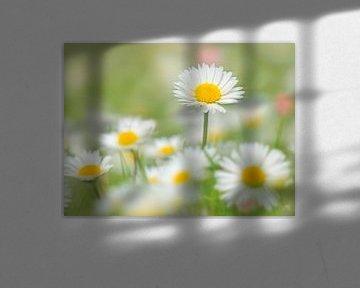 Upsie Daisy.... (Gänseblümchen) von Caroline Lichthart