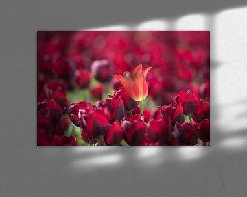 orangefarbene Tulpe von Hilda booy
