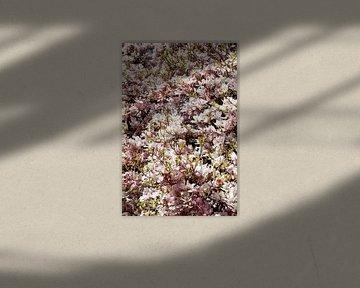 Rosa Magnolienblüten auf  Baumzweigen ,Deutschland von Torsten Krüger