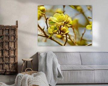 Gelber Hartriegel (Cornus Mas) von Caroline Lichthart