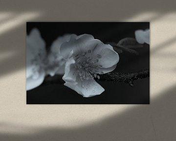 Apfelblüte schwarz und weiß von Lynlabiephotography