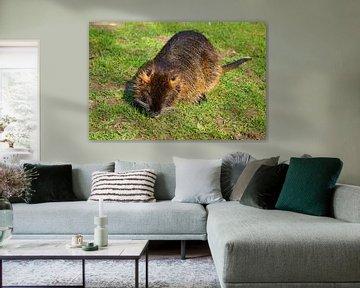 das Bild zeigt wild lebende Nutria von Babetts Bildergalerie