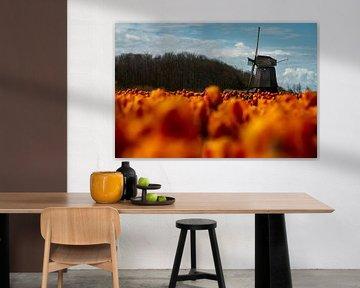Tulpen und Mühle in Noordholland von Manuuu S
