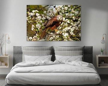 Ein Rotmilan schaut direkt in die Kamera, der Raubvogel sitzt in einem Baum voller weißer und gelber von Gea Veenstra