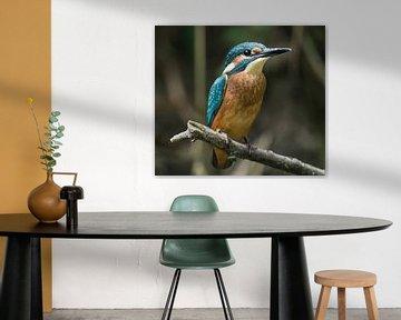 Junger Eisvogel in der Bekendelle Winterswijk Holland von Robbie Nijman