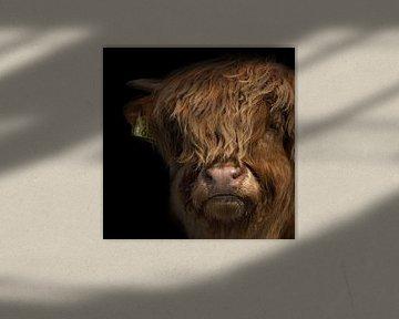 Porträt eines schottischen Highlander-Kalbs von 7.2 Photography