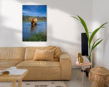 Wandelende schotse hooglander koe in een meer van 7.2 Photography