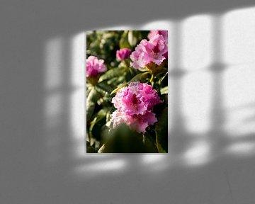 Blumenstrauch mit rosa Rhododendron | Botanische Kunst | Fine Art Naturfoto von Karijn | Fine art Natuur en Reis Fotografie