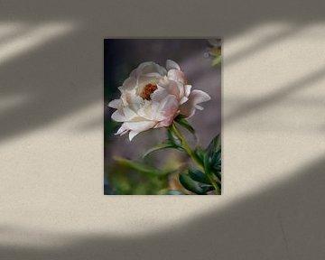 witte pioenrozen van Christine Nöhmeier