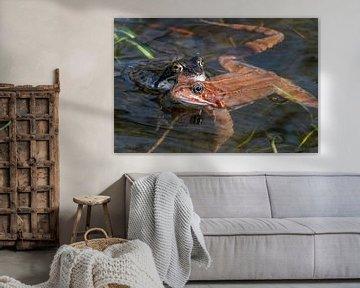 Ein Froschpaar, rot und grün in Nahaufnahme im Wasser von John Ozguc